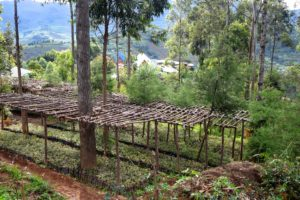 Tree nursery in Buryhini